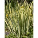 Sumpfschwertlilie Variegata Iris pseudacorus Variegata