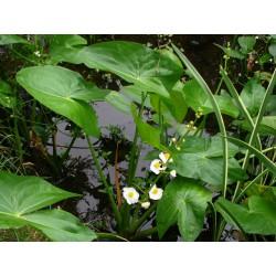 Breitblättriges Pfeilkraut Sagittaria Japonica