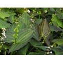 Südliches Pfeilkraut Sagittaria australis Ben