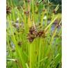 Scirpus mucronatus