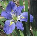 "Louisiana-Iris"" Iris louisiana 'Blue"