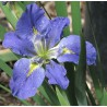 Iris louisiana 'Blue