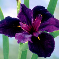 Louisiana-Iris ,Iris louisiana 'Black Gamecock