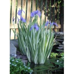 Asiatische Sumpf-Schwertlilie Variegata Iris laevigata 'Variegata'