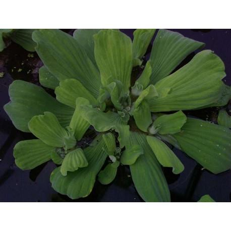 Pistia stratiotes, water lettuce