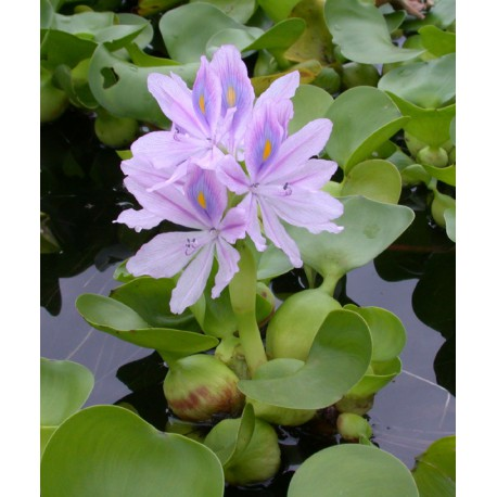 Eichhornia crassipes Water hyacinth