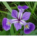 Verschiedenfarbige Schwertlilie Iris versicolor