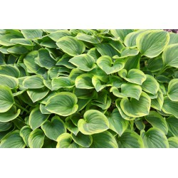 Golden 'Tiara' Hosta