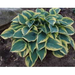Garten-Funkie 'First frost ' Hosta