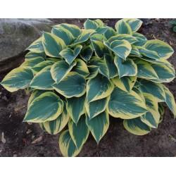 Garten-Funkie 'First frost ' Hosta