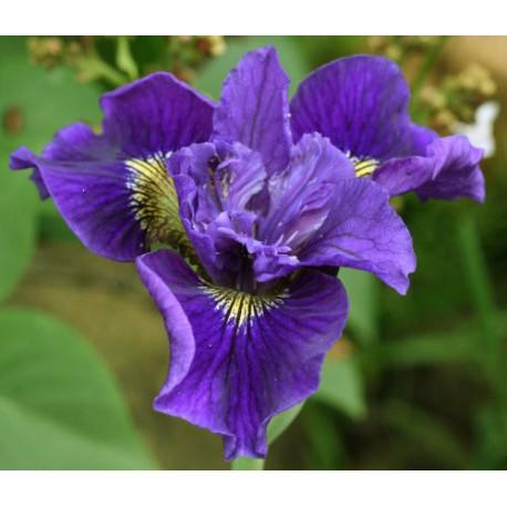 """Iris sibirica """"Ruffled Velvet"""""""