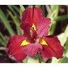 "Iris louisiana ""Ann Chowning"""