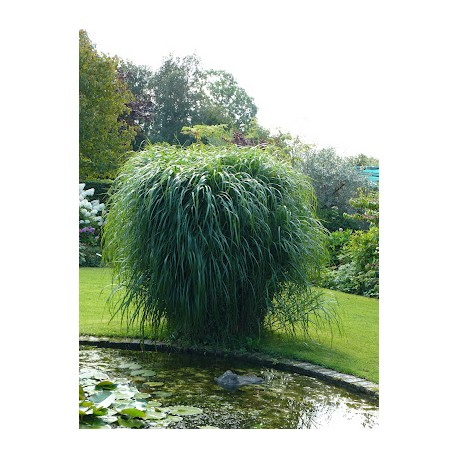 miscanthus 39 giganteus 39 riesen chinaschilf water. Black Bedroom Furniture Sets. Home Design Ideas