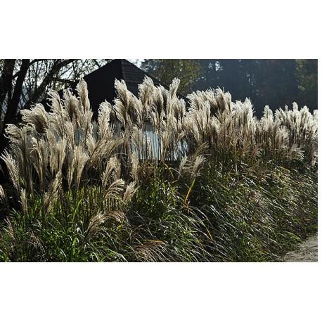 Miscanthus sinensis 'Daria' – Chinesischer Miscantus