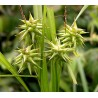 Morgenstern-Segge Carex grayi