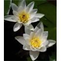 Garten-Seerose Albida Nymphaea Albida