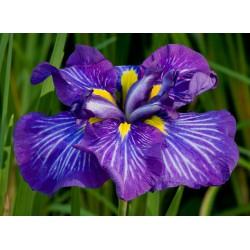 Japanische Sumpf-Schwertlilie Iris ensata Lion King