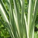 Japanische Sumpf-Schwertlilie Iris ensata Variegata