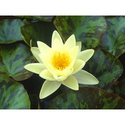Water Lily 'Chromatella Nymphaea 'Marliacea Chromatella'
