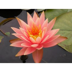 Garten-Seerose 'Colorado' Nymphaea Colorado