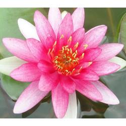Garten- Seerose Conqueror Nymphaea 'Conqueror'