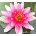 Garten- Seerose ''Conqueror'' Nymphaea 'Conqueror'
