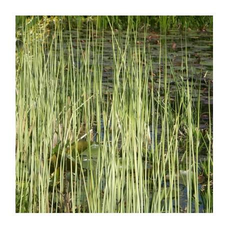Scirpus lacustris Albescens