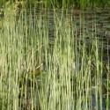 Weiß gestreifte Teich-Simse Scirpus lacustris Albescens