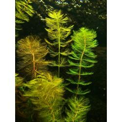 Ährige Tausendblatt Myriophyllum spicatum