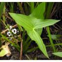 Gewöhnliche Pfeilkraut Sagittaria sagittifolia