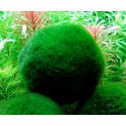 Cladophora, Cladophora-Ball