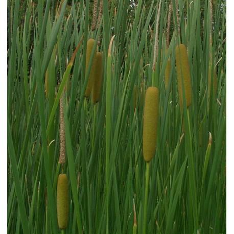 Typha angustifolia narrowleaf cattail