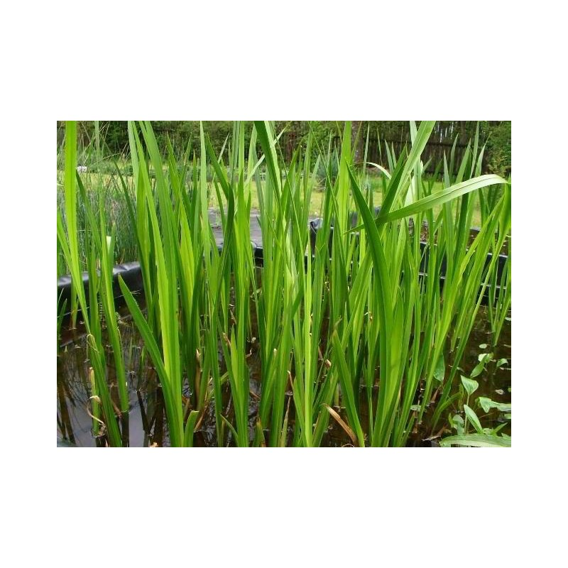 bach acorus calamus Find patient medical information for calamus on webmd including its uses, effectiveness, side effects and safety, interactions.