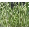 Bunter calmus Acorus calamus variegatus