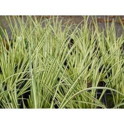 Acorus gramineus variegatus