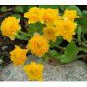 Gefüllte Sumpfdotterblume Caltha palustris Multiplex