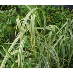 Buntblättriges Garten-Süßgras Gliceria maxima Variegata