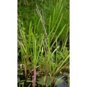 Riesensüßgras Gliceria maxima