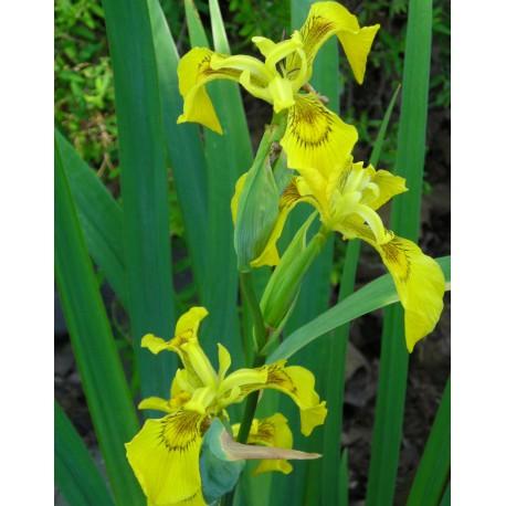 sumpf schwertlilie iris pseudacorus teichpflanzen wasserpflanzen. Black Bedroom Furniture Sets. Home Design Ideas