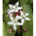 Fieberklee Menyanthes trifoliata
