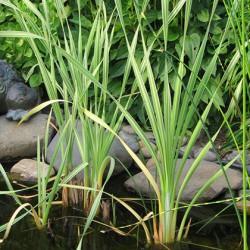 Breitblättriger Rohrkolben Variegata Typha latifolia Variegata