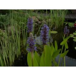 Herzblättriges Hechtkraut Pontederia cordata blue