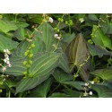 Südliches Pfeilkraut Sagittaria australis Benni