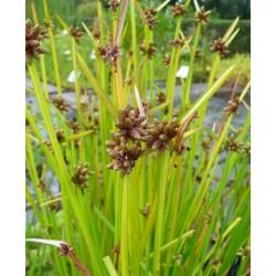 Stachelspitzige Teichsimse Scirpus mucronatusus