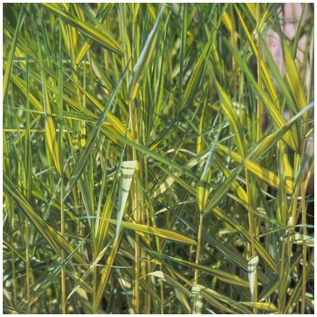 Phragmites australis variegata