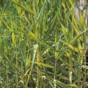 Schilfrohr Variegata Phragmites australis variegata