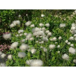 Scheidiges Wollgras Eriophorum