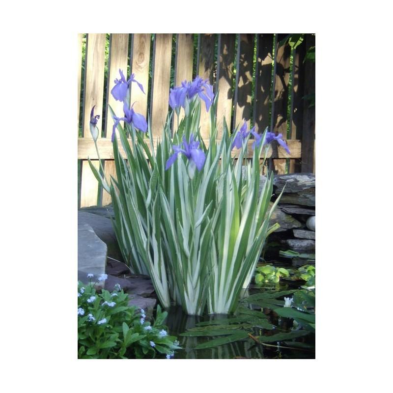 asiatische sumpf schwertlilie variegata iris laevigata variegata. Black Bedroom Furniture Sets. Home Design Ideas