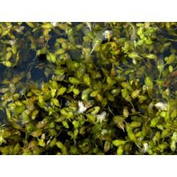 Dreifurchige Wasserlinse Lemna trisulca