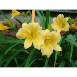 Garten-taglilie, Hemerocallis Stella d'Oro